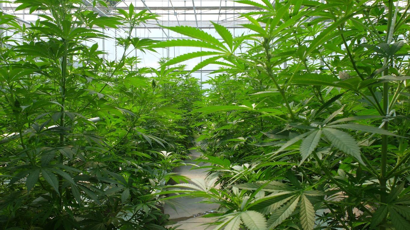 Micro Cannabis Licences