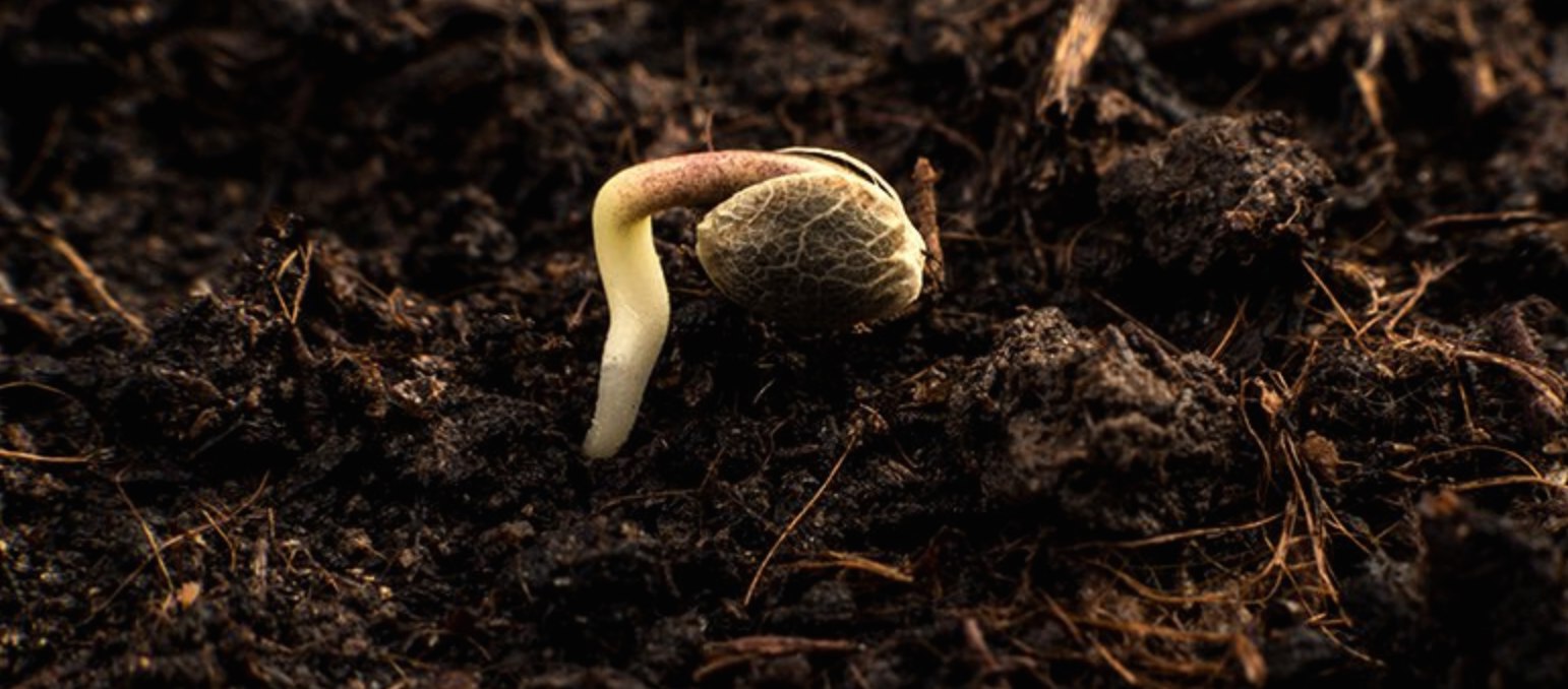 New cannabis seeds coming to Ontario and BC soon