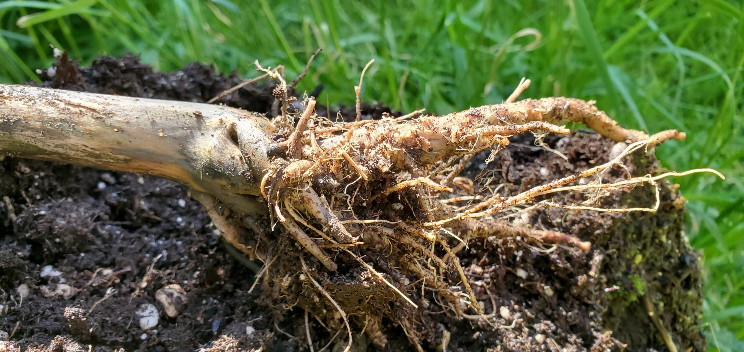 Researchers identifying antimicrobial activity in cannabis roots