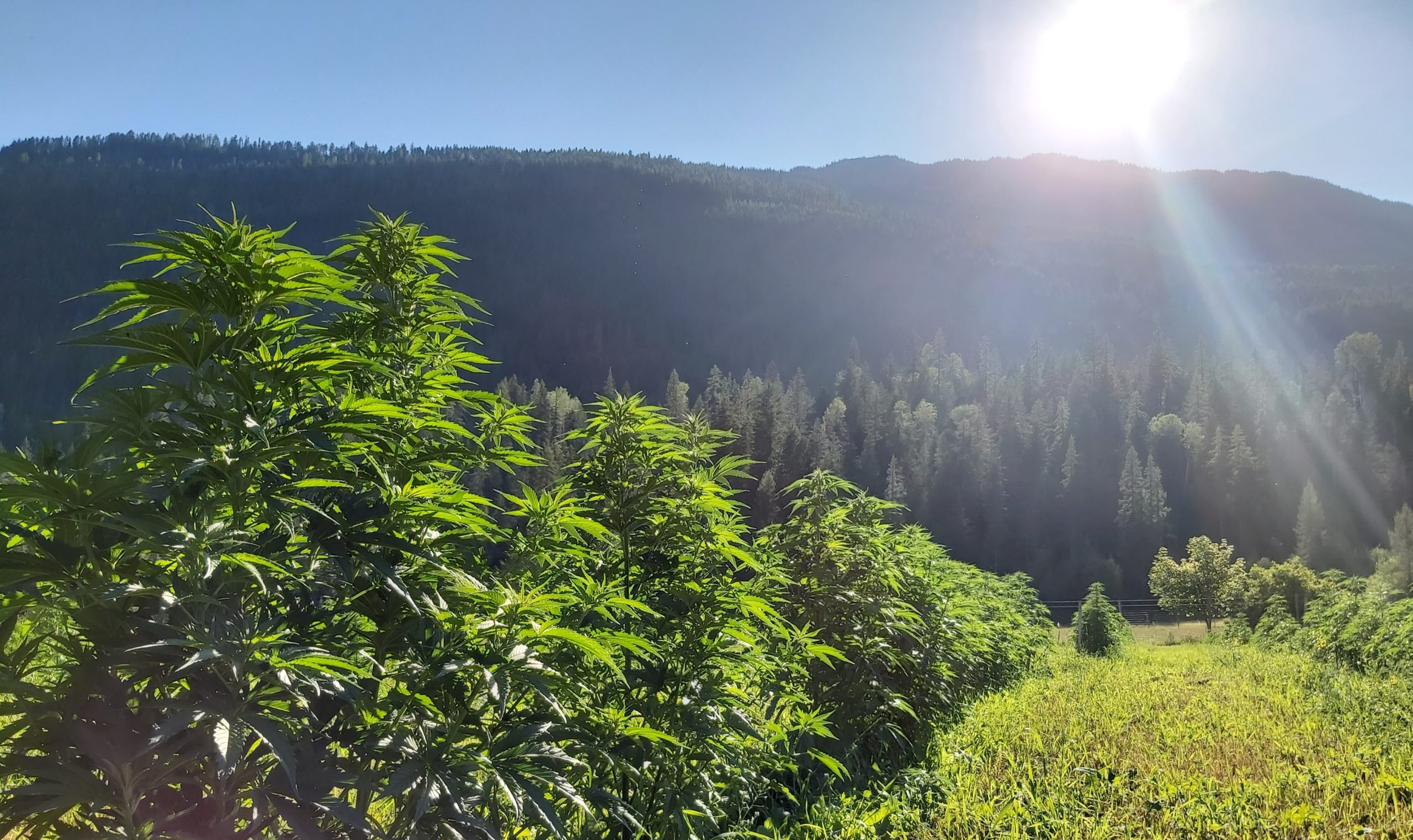 """BC to allow """"small-scale producers"""" to deliver cannabis directly to licensed retailers as well as farm-gate sales beginning in 2022"""
