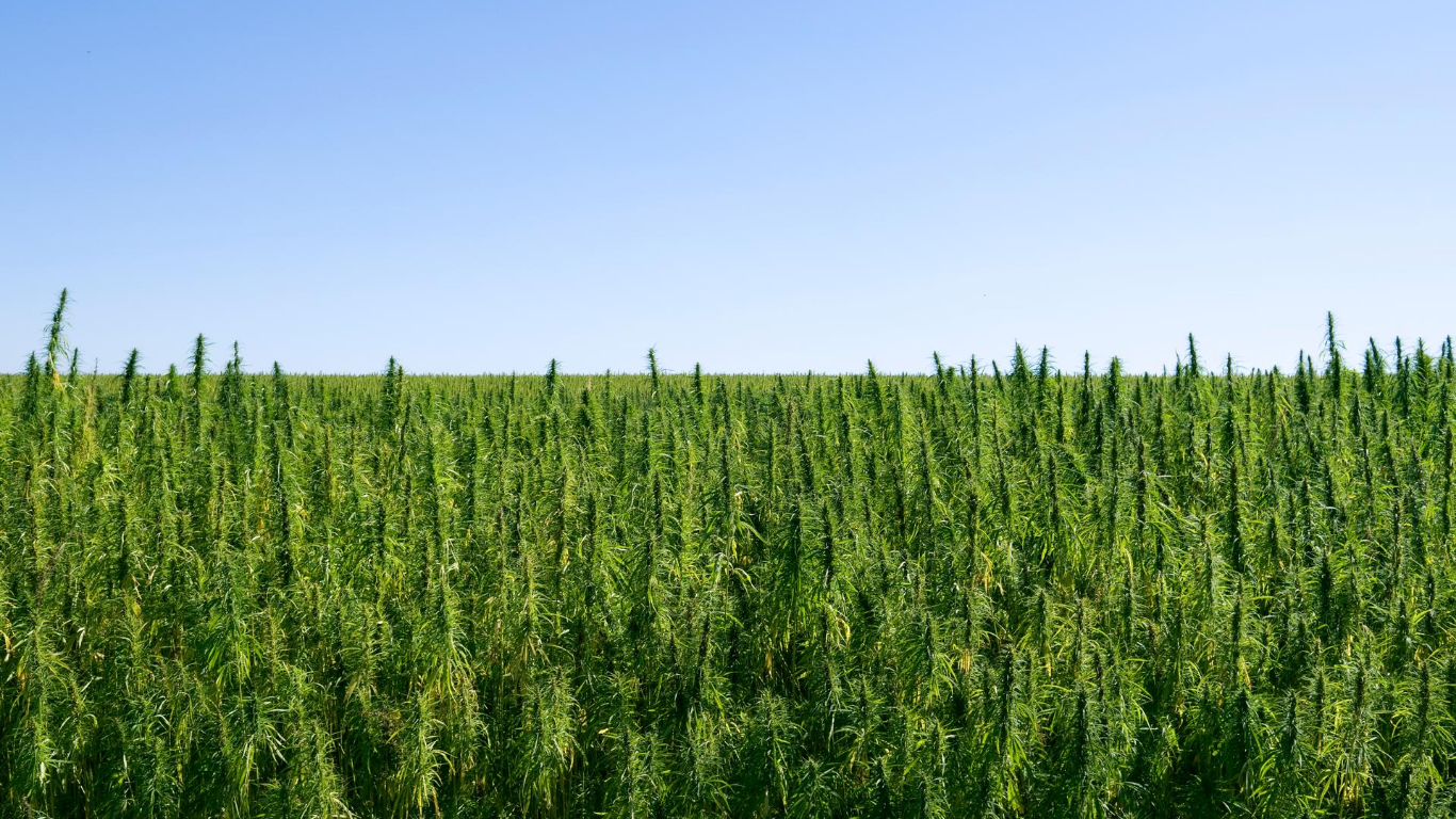 Health Canada seeking submissions for new industrial hemp varieties
