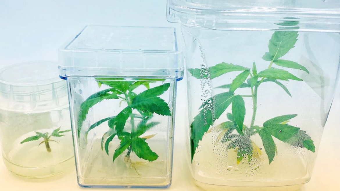 BC nursery to soon offer drop shipping of tissue culture clones to two Regina retailers