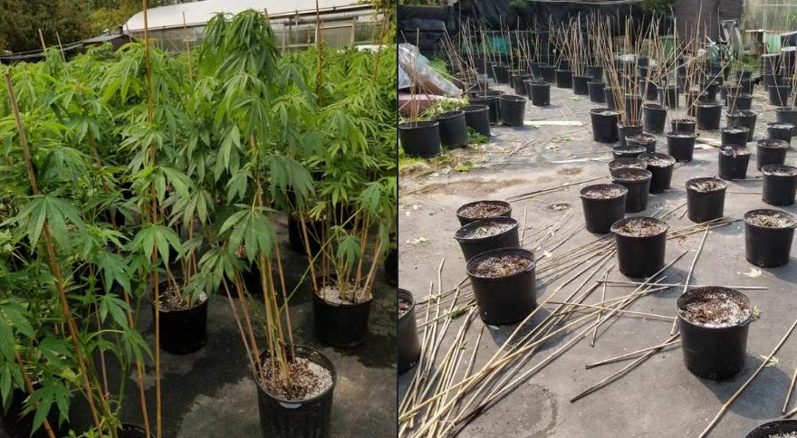 OPP seize 235 cannabis plants in Caldeon