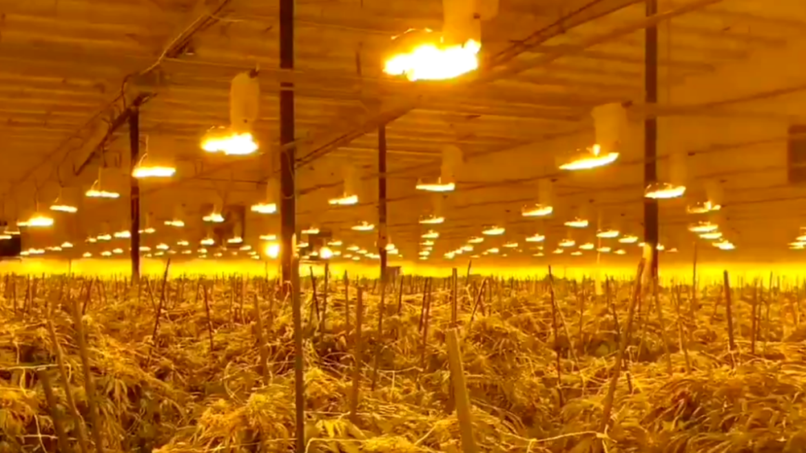 Ontario: Another large scale raid in Norfolk County with hundreds of cannabis plants seized