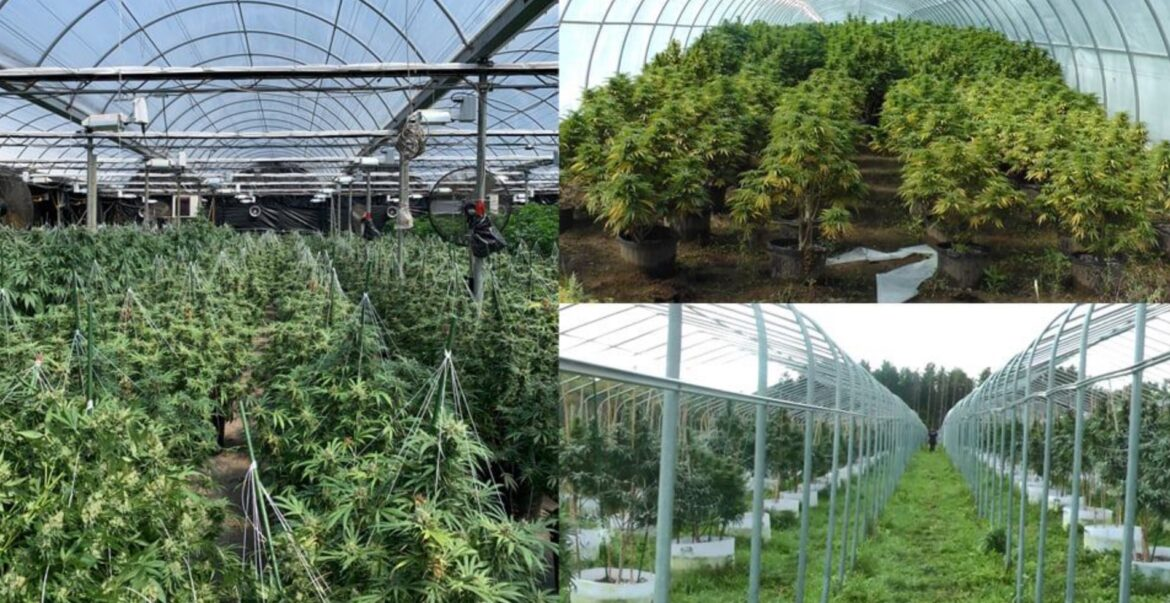 Durham Regional Police seized more than $50 million in cannabis plants and shut down 18 growing operations as part of Project Mosquito