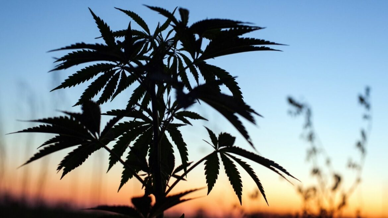 New Brunswick announces plans for cannabis farmgate