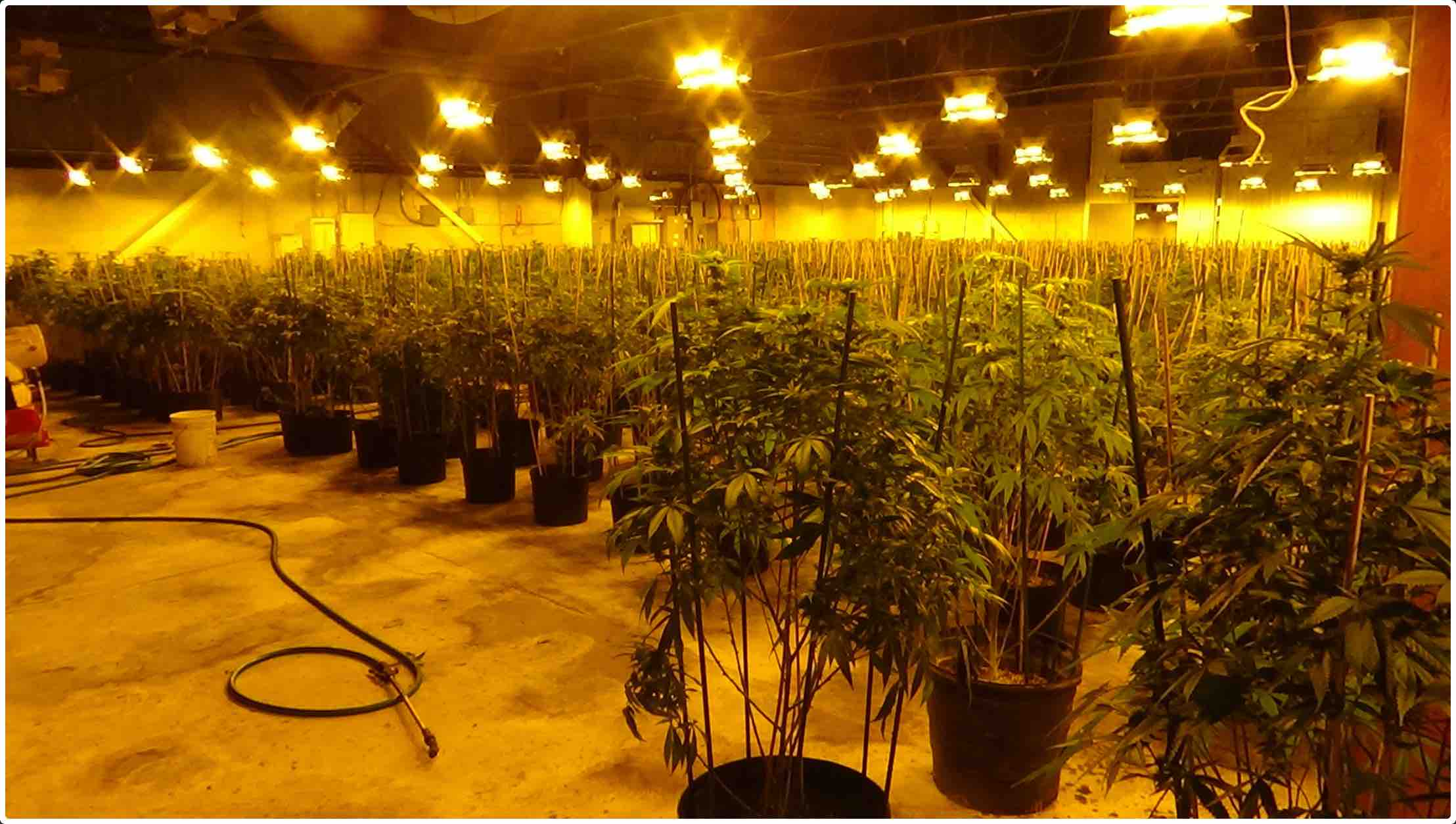 Ontario police seize more than $5 million worth of cannabis plants from London property