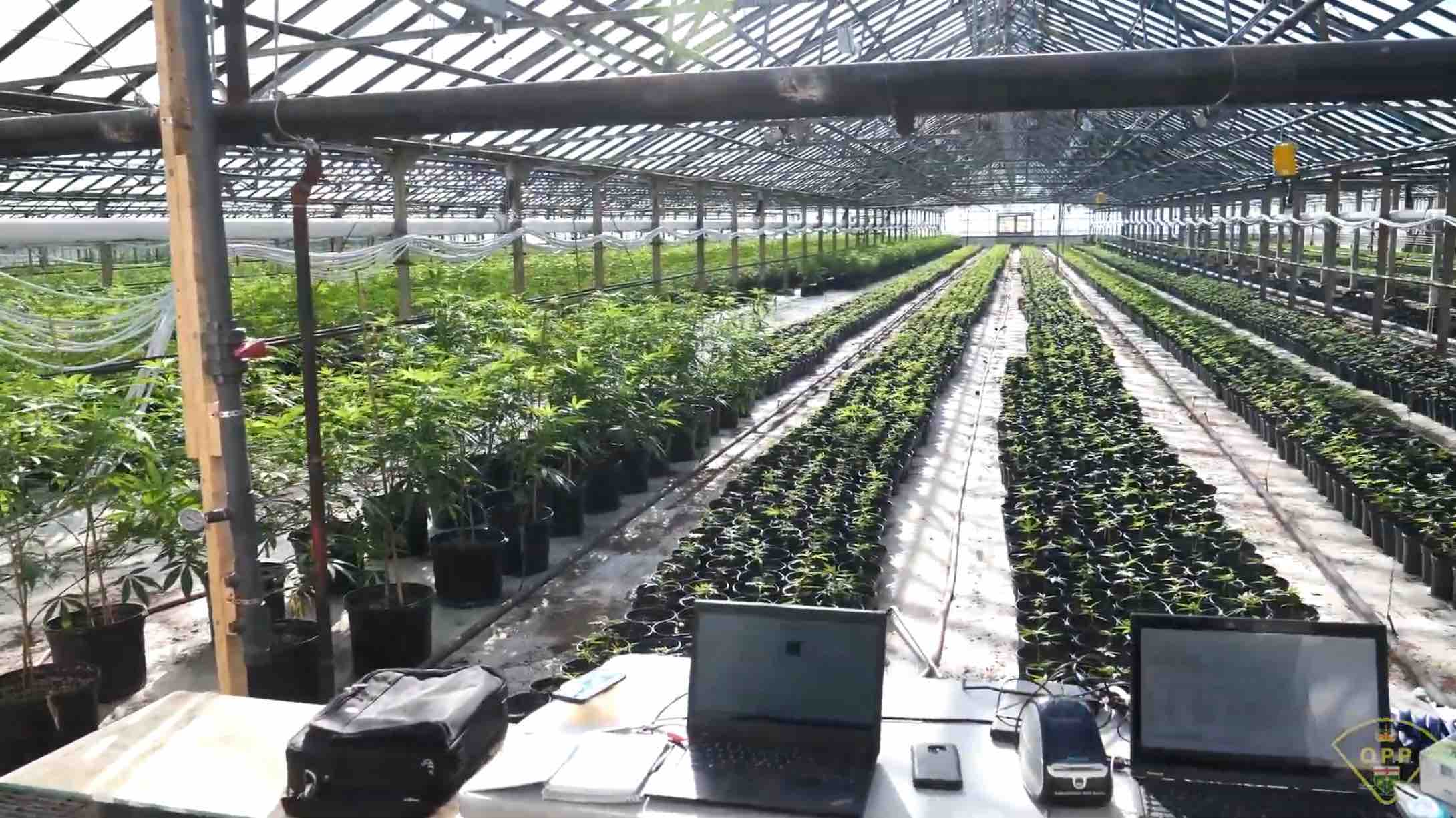 Ontario police say they have seized over 180,000 cannabis plants from large scale, illicit grows over past two years