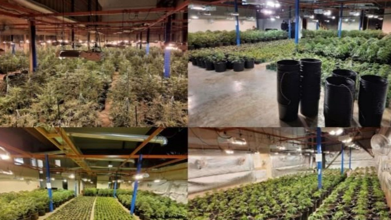 Another large cannabis raid in Ontario seizes more than 5,000 plants