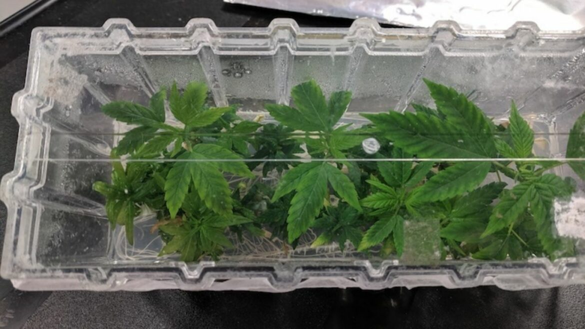 University of Guelph researcher says tissue culture samples offer opportunities for the cannabis industry