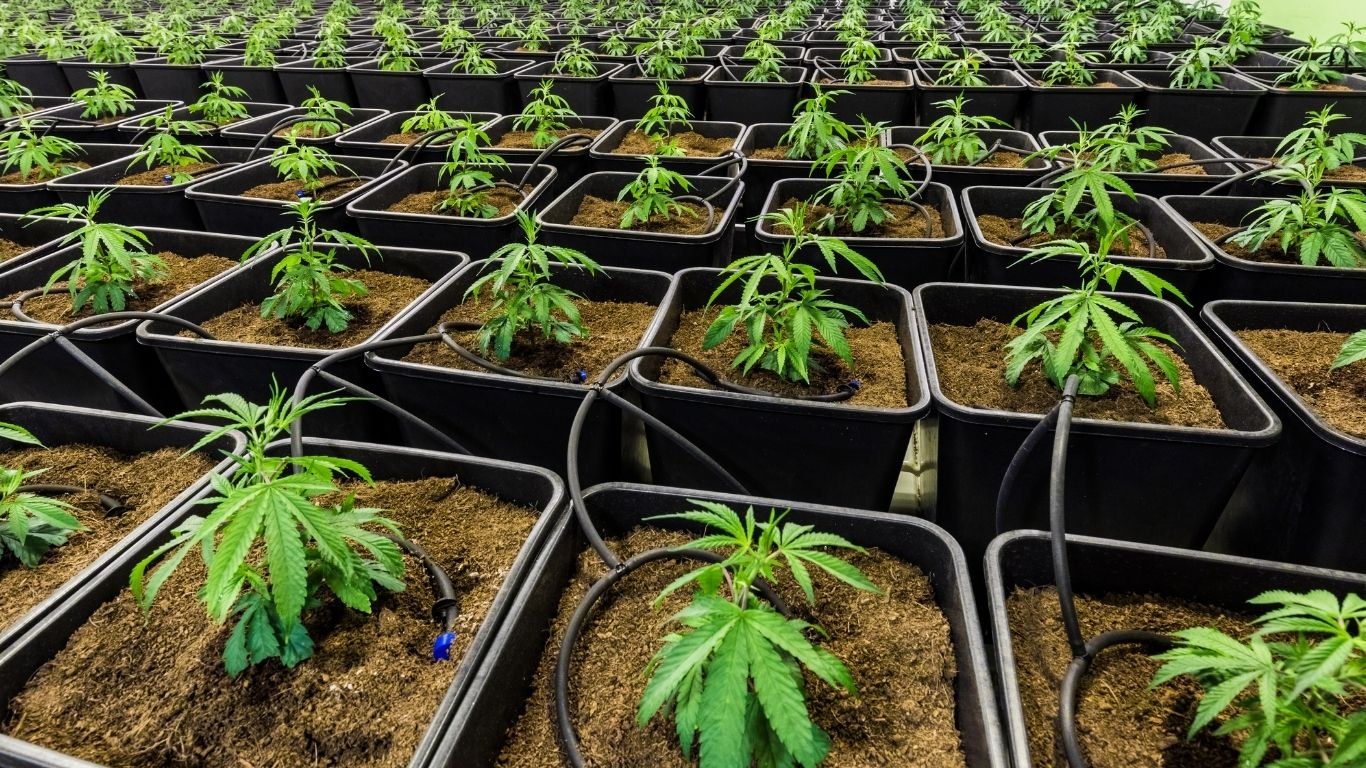 Exploring the Environmental Impacts of Cannabis Production – online event