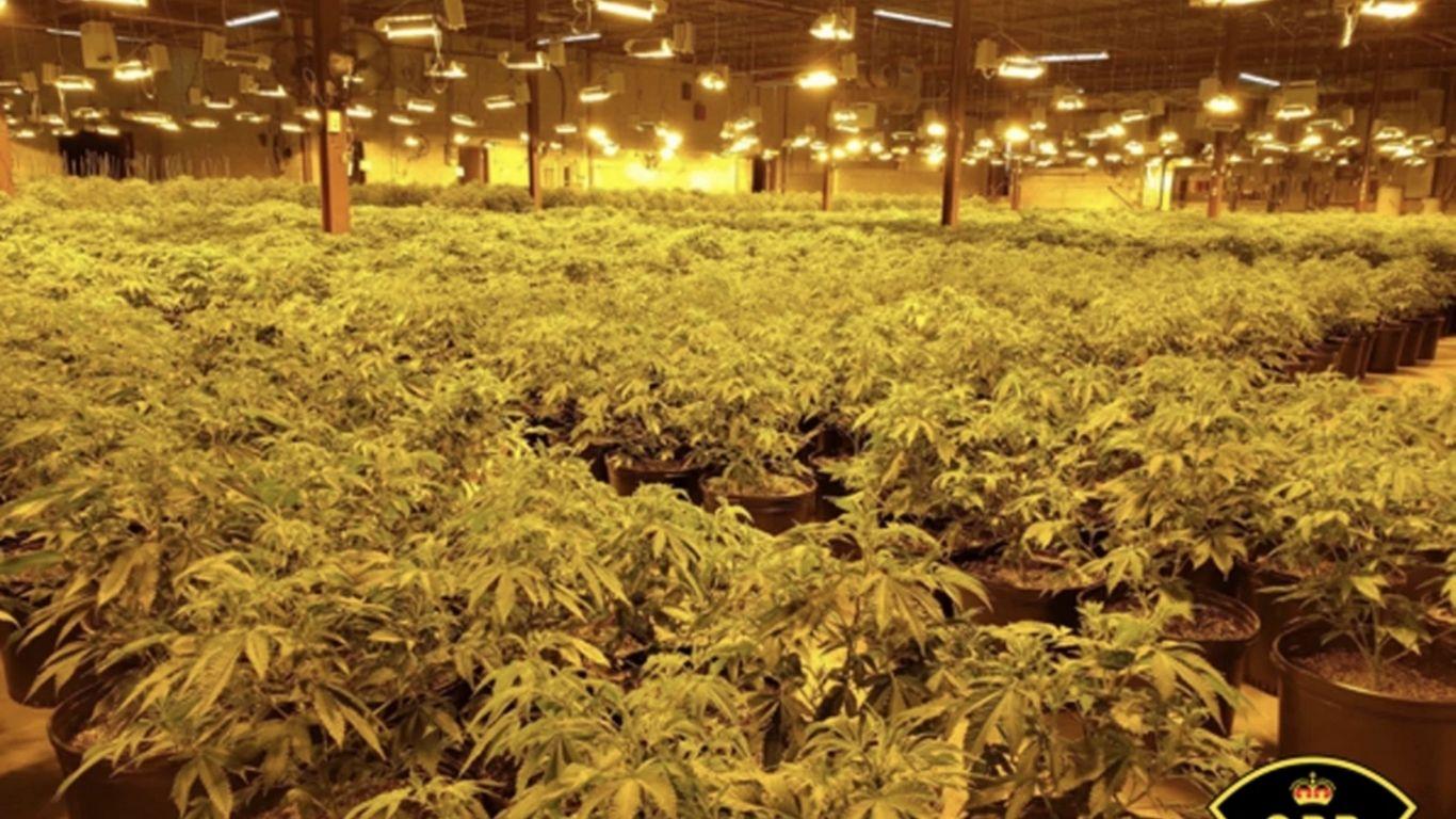OPP seize more than 5,000 cannabis plants in Pembroke