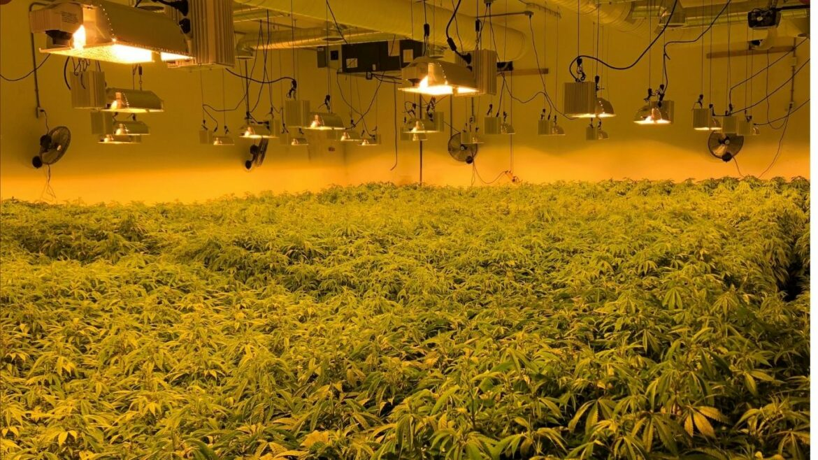 OPP: More than 10,000 cannabis plants and 80 pounds of flower seized in raid