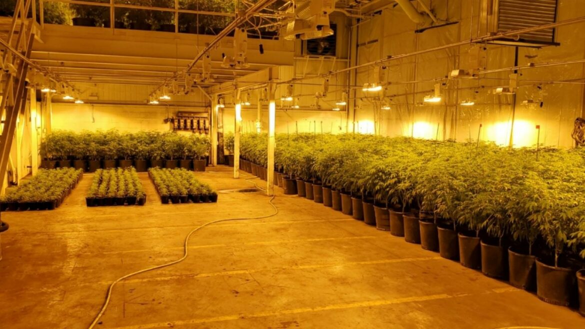 Four recent raids in Ontario net thousands of cannabis plants
