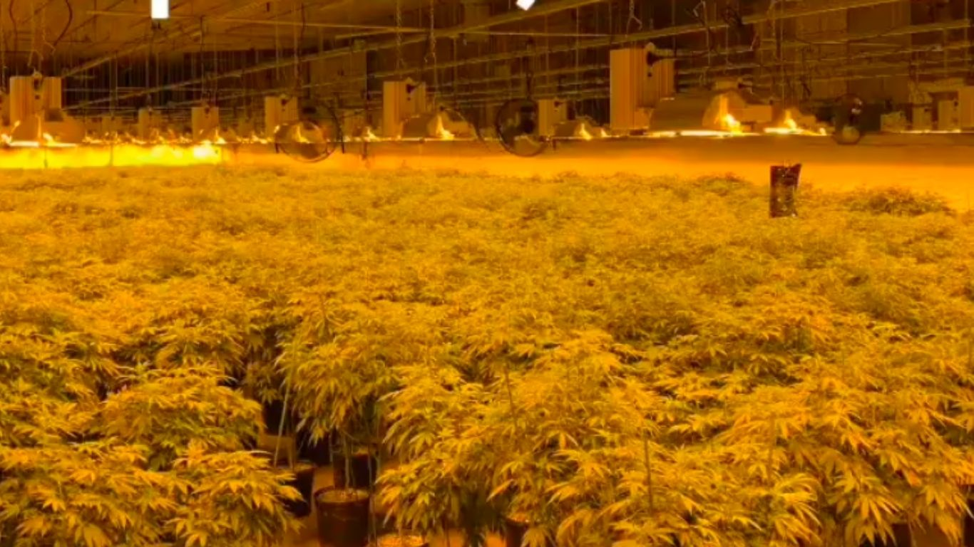 OPP seize more than 12,000 cannabis plants in Chapleau, charge 5
