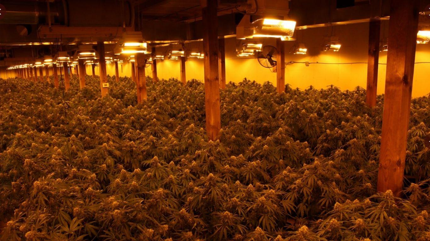 OPP seize nearly 10,000 cannabis plants in three raids this week