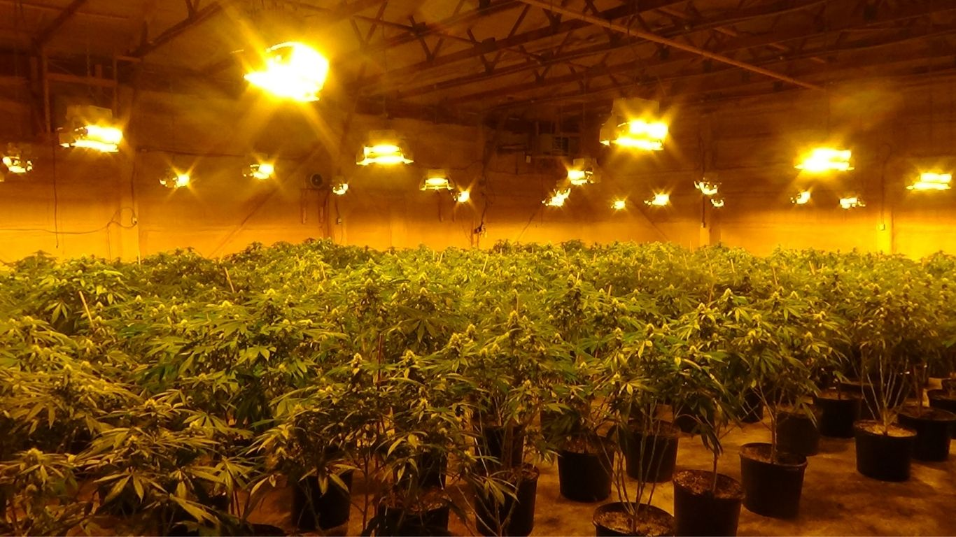 OPP seize 18,000 cannabis plants and 3,000 pounds of cannabis from two unlicensed grows