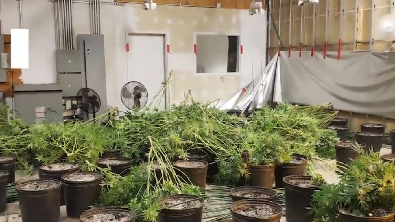 Ontario police seize thousands of cannabis plants in several more raids this week