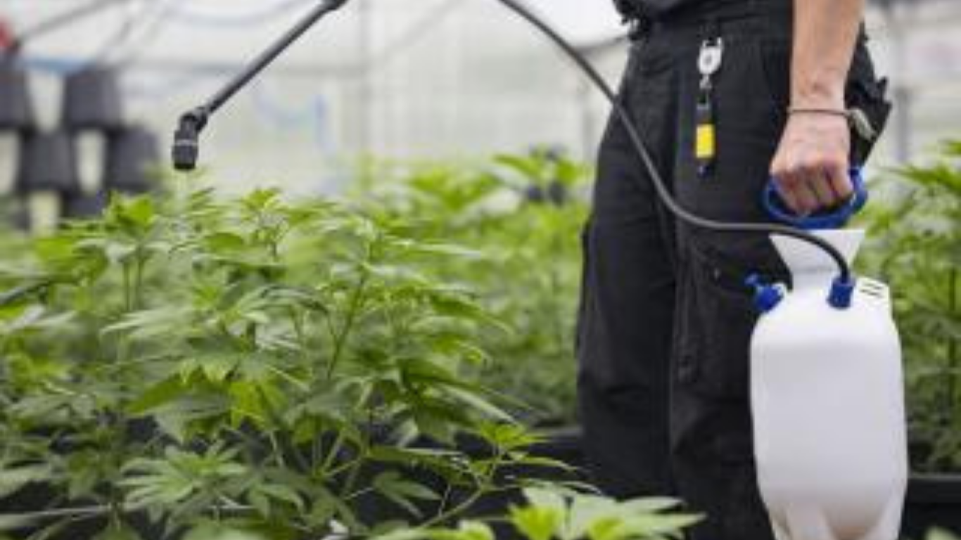 BC tests illicit cannabis and finds 24 different pesticides in 20 samples